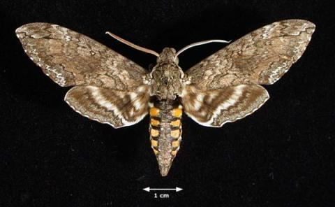 Manduca_Sexta_Moth